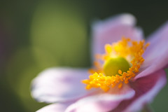 Dappled Anemone (oandrews) Tags: anemone anemonehupehensisvarjaponica canon canon70d canonuk flora flower garden japaneseanemone light nature outdoors petals pink plant plants sun sunlight sunlit