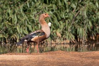 Orinoco Goose (Neochen jubata)