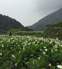 Arum lily flower fields (phuong.sg@gmail.com) Tags: beautiful beauty botanic botany colorful decoration flora forest formal garden grass green greenery landscape landscaped landscaping lawn nature ornamental park parkland pathway pavement peaceful plant relax scenery scenic sidewalk sightseeing submersion summer taipei taiwan tranquil tree tropical vacation walk walkway way yangmingshan