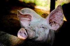 Bali, le cochon au fond du jardin.... (Calinore) Tags: indonesia indonésie animal pig cochon agriculture elevage