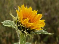 Golden Crown (maureen bracewell) Tags: yorkshire flowers summer sunflowers sunshine nature yellow maureenbracewell cannon digitalart painterly texture