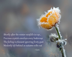 Buttercup Frost (poem) (gaeia) Tags: winter rainfalls ice precious crystals envelops buttercup autumn wiltsout poem poetry peace frost freeze flower frosty words text alps quotation quotes nature snow scene poemecho gaeia postcardpoetry