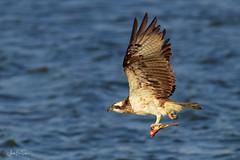 Osprey (Asa-Photography) Tags: bord nikon nature naturephotgraphy nikond850 wildlife wild wildlifephotography nikkor 200500mm