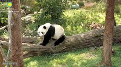 2018_09-19 (gkoo19681) Tags: beibei chubbycubby fuzzywuzzy adorableears brighteyed feetsies patientlywaiting watching listening treattime tooearly favoritelog beinggood toocute beingadorable darling precious comfy ccncby nationalzoo