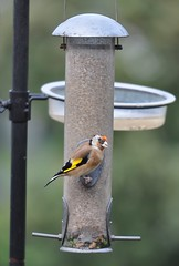 Goldfinch (goweravig) Tags: goldfinch bird avian swansea wales uk september 2018
