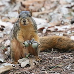 102/365/3754 (September 21, 2018) - Squirrels in Ann Arbor at the University of Michigan on the Last Day of Summer - September 21st, 2018 thumbnail