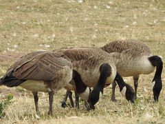 You missed a bit (Simply Sharon !) Tags: canadageese geese birds britishwildlife wildlife nature feeding thryberghcountrypark august