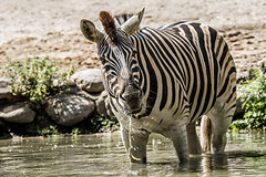 cool water (Anja Anlauf) Tags: zebra säugetier wasser tier natur duisburg