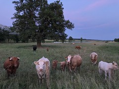 Curious cattle and young bulls observing their area at the village Neuhaus. (arwed.kubisch1) Tags: amt neuhaus grass gras evening abend tree baum cows kühe rind cattle bullen bulls neugierig curious tiere himmel abendhimmel