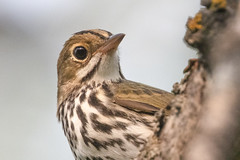 Close up and personal (Peter Stahl Photography) Tags: ovenbird warbler migration fall