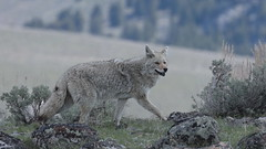 Coyote on the prowl (Hammerchewer) Tags: coyote animal wildlife outdoor yellowstone