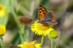 Small Copper (CJT29( not enough hours in the dayl)) Tags: hampshire cjt29 titchfieldhaven smallcopper lycaenaphlaeas butterfly butterflies