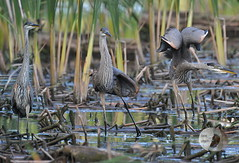 Stretching... (firstlookimages.ca) Tags: outdoors birds blueheron water wildlifeportraits wildlife digitalmanipulation digitalphotography photography marsh rbg hss