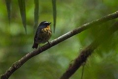 Snowy-browed Flycatcher (male) (christopheradler) Tags: borneo malaysia snowybrowed flycatcher ficedula hyperythra