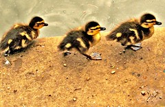 Follow me (Tony Worrall) Tags: chicks baby young trio nature natural fun funny babies follow birds bird hdr nice beauty live life three walk walking sunlit feathers ducks duck wild wildlife march lovely buy sell sale bought outside outdoor babybirds babyducks youngster chick feet