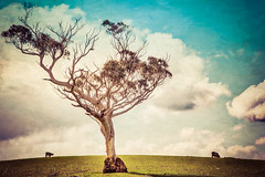 Tree with a view (cheezepleaze) Tags: middleton tree hill lonetree clouds spring paint texture hss sheep
