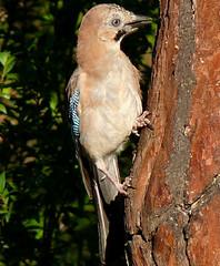 p1410617 (claudiopoli) Tags: animali animalia chordata aves passeriformes corvidae garrulus glandarius ghiandaia autouploadfilenamep1410617jpg
