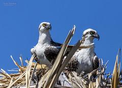 Pandion haliaetus,Osprey, Balbuzard pêcheur (beluga 7) Tags: pandionhaliaetus osprey balbuzardpêcheur islaholbox mexico birding bird oiseau yucatan mexique nest nid