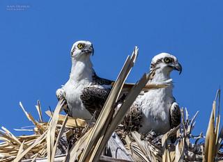 Pandion haliaetus,Osprey, Balbuzard pêcheur