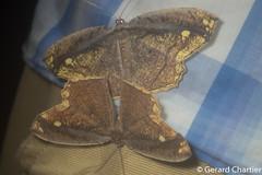 Pareumelea eugeniata (GeeC) Tags: animalia arthropoda butterfliesmoths cambodia ennominae geometridae geometroidea inchwormmoths insecta kohkongprovince lepidoptera nature tatai khumruesseichrum kh pareumelea pareumeleaeugeniata