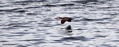J78A0634 (M0JRA) Tags: birds flight flying wildlife rats walks gardens parks fields trees lakes ponds ducks swans rspb