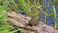 Bullfrog over seeing the pond (GerdaKettner) Tags: ponds pondlife lithobates ranacatesbeiana rana cookcountyforestpreserve forestpreserve amphibious illinoisnature midwestnature midwestwildlife bullfrog americanbullfrog