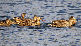 Happy female Mallards and 1 that doesn't belong