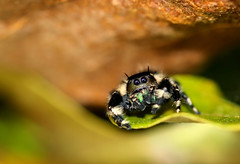 Leaf Ledge (dianne_stankiewicz) Tags: spider jumpingspider leaf ledge nature wildlife macro hairy furry texture