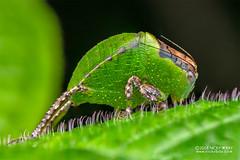 Katydid (Tettigoniidae) - DSC_2867 (nickybay) Tags: africa madagascar macro andasibe voimma katydid tettigoniidae