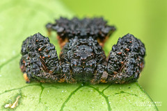 Bird-dung crab spider (Phrynarachne sp.) - DSC_2810 (nickybay) Tags: africa madagascar macro andasibe voimma birddung crab spider black thomisidae phrynarachne