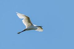 Seidenreiher (tom22_allgaeu) Tags: reiher bird vogel animal blue white wildlife natur nature naturephotography freehand freihand nikon d7200 sigma heron seidenreiher