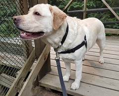 Gracie on the viewing platform (walneylad) Tags: gracie dog canine pet puppy lab labrador labradorretriever cute august summer afternoon capilanoriverregionalpark