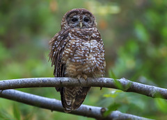 Northern Spotted Owl (adult) (E_Rick1502) Tags: