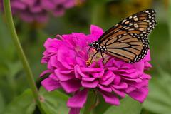 IMG_3083a (judyflo1) Tags: summer garden macro butterfly monarch flower pink wings orange
