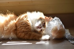 Jimmy sees the onion (rootcrop54) Tags: jimmy orange ginger tabby male onion plasticbag kitchen counter neko macska kedi 猫 kočka kissa γάτα köttur kucing gatto 고양이 kaķis katė katt katze katzen kot кошка mačka gatos maček kitteh chat ネコ cc100 explore cc1000 cc7000