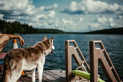 View From The Dock (danieljuskowiak) Tags: siberian husky dog pup old puppy cottage nature life natural lake water trees forest deck dock canada ontario kushog haliburton minden colors vibe summer 2018 august warm vibes living view landscape arm man detail nikon d750 50mm f18 adobe lightroom cc jon olsson forestry ngc clouds cloud vibrant vibrance ears wood rural exploring ecosystem rest relaxing chill sky blue green brown pylon stairs