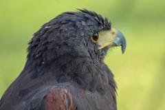 21.Águila de harris. (Manupastor43) Tags: