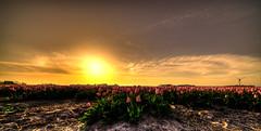 Tulips preparing for a good night of sleep. (Alex-de-Haas) Tags: 11mm adobe blackstone d850 dutch hdr holland irix irix11mm irixblackstone lightroom nederland nederlands netherlands nikon nikond850 noordholland photomatix beautiful beauty bloem bloemen bloementeelt bloemenvelden cirrus floriculture flower flowerfields flowers landscape landschaft landschap lente lucht mooi polder skies sky spring sun sundown sunset tulip tulips tulp tulpen zonsondergang