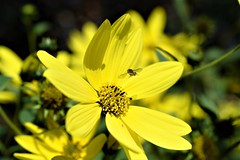 They call it mellow yellow (Paul Wrights Reserved) Tags: yellow insect inflight flower flowers yellowflower flight low key beautiful hoverfly hoverflies