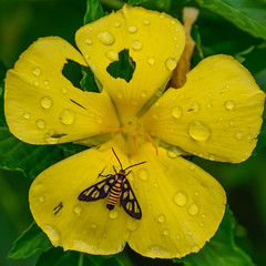 Tiger moth on yellow flower (Robert-Ang) Tags: tigermoth jurongecogarden singapore insect wildlife nature