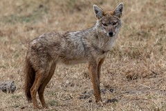East African Jackal (Patrick Gregerson) Tags: africa canon5dmarkiv ngrongorocrater sigma150600mm tanzania outdoors outside safari wildlife jackal canismesomelasschmidti