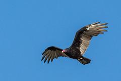 Turkey Vulture in Flight (gh_trker) Tags: burlington ontario nikon d7200