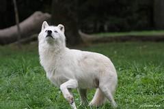 Loup arctique_SIUT (Passion Animaux & Photos) Tags: loup arctique arctic wolf canis lupus arctos parc animalier saintecroix france