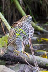 Sparrowhawk (Jeff J Brown) Tags: wildlife birds sparrowhawk predator raptor riveresk