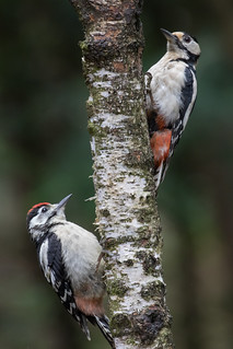 Female and juvenile Great Spotted Woodpecker (Dendrocopos major) Grote bonte specht