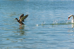 The chase (bertrandwaridel) Tags: 2018 august lacdeneuchâtel switzerland vaud yvonand chase duck lake summer swan water suisse