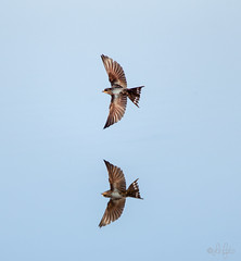 Swallow (LeFoto - photography by Peter Le Cointe) Tags: flyingswift wildlife naturalhistory hampshirephotographer penningtonmarshes swallow birdsinflight peterlecointe lefoto birds newforestphotographer reflection common swift commonswift