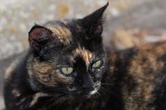 IMG_0105 Lola, Mallorca (Fernando Sa Rapita) Tags: mallorca sarapita lola cat gato gatita mascota pet retrato portrait canon eos1300d sigma sigmalens canoneos