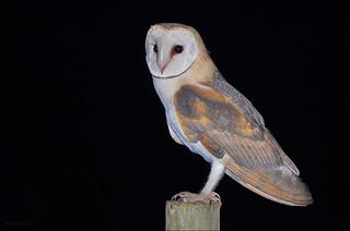 Coruja-das-torres (Tyto alba)