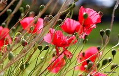 Swaying poppies (mootzie) Tags: flowers poppies red breezy swaying petals stems nature wild garden aberdeenshire scotland green